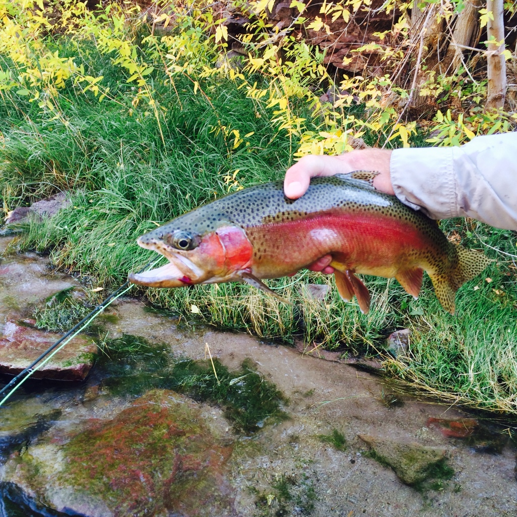 Nick Jackson guided on this Rainbow just starting to spawn, on the Green River Utah.
